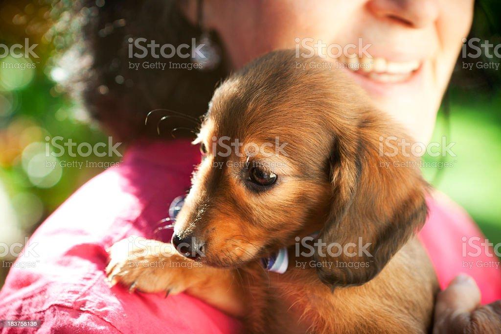 Cute Daschund Puppy royalty-free stock photo