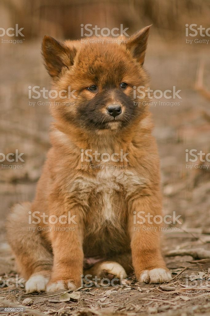 Cute dingo puppy in the dry habitat stock photo