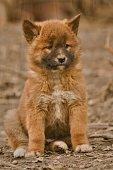 Cute dingo puppy in the dry habitat