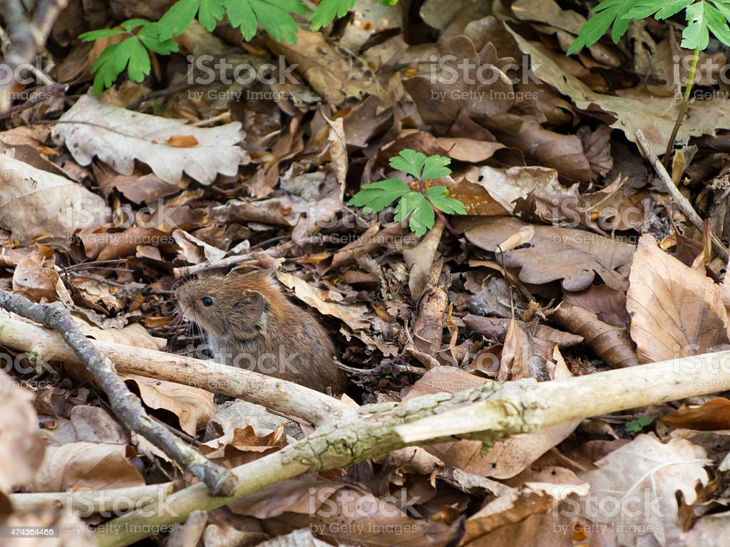 Cute dinky Wood mouse in the forest stock photo