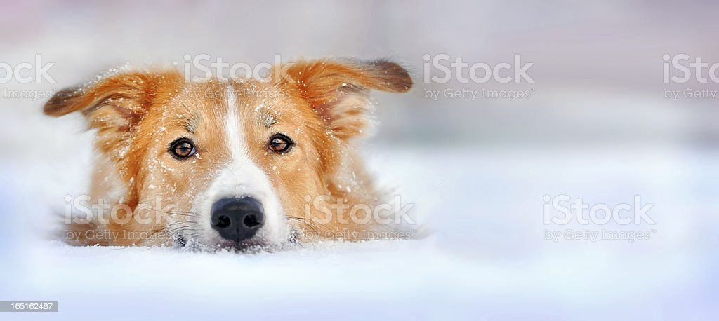 Cute dog border collie lying in the snow stock photo