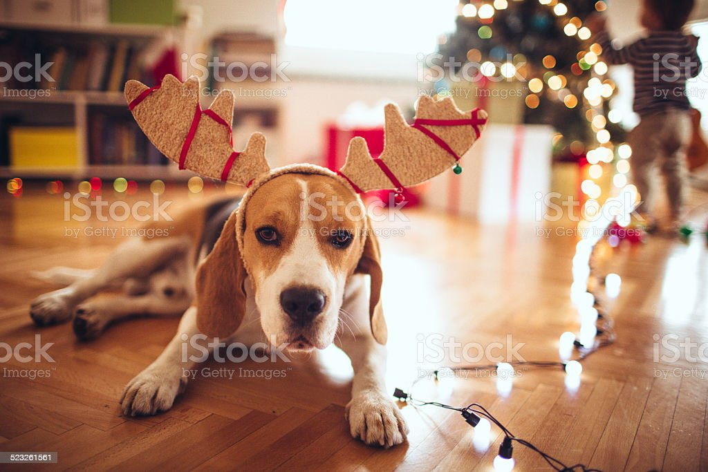 Cute dog dressed up as Rudolph, the red-nose reindeer stock photo