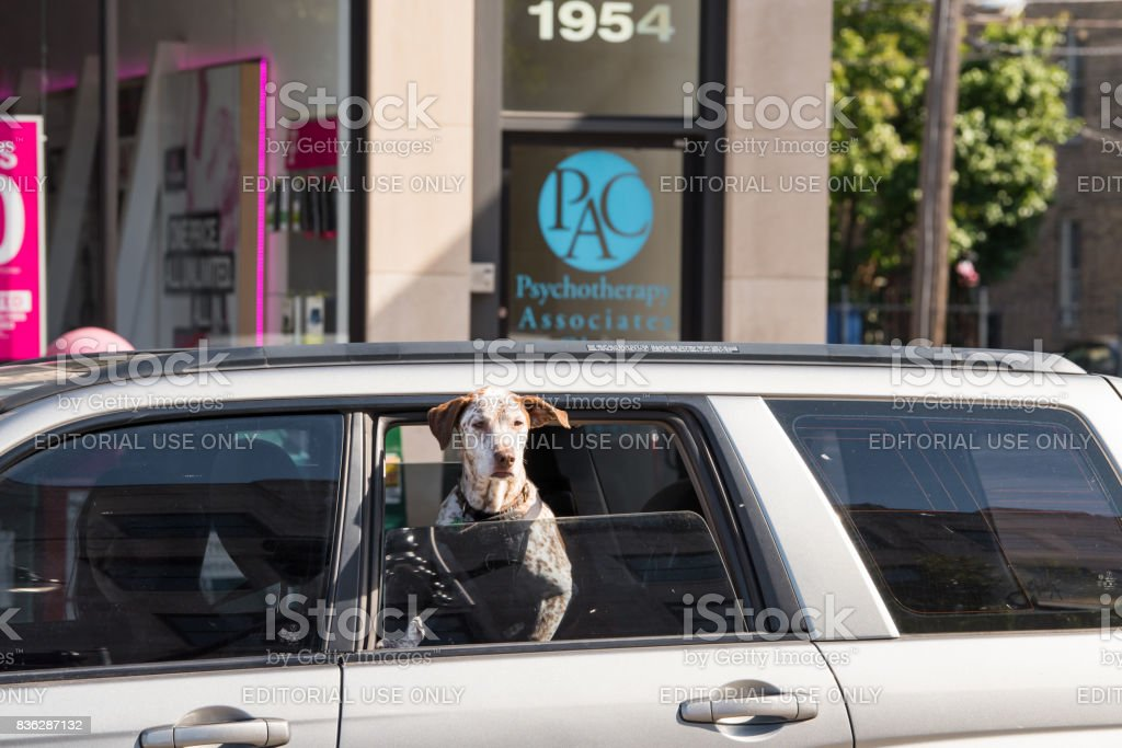 A cute dog hanging his head out a window stock photo