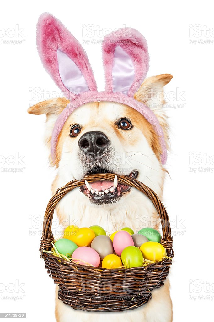 Cute Dog Holding Easter Basket Wearing Bunny Ears stock photo