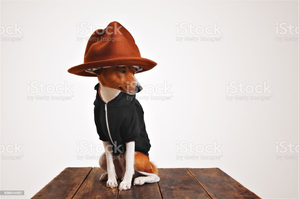 Cute dog in hoodie and fedora hat stock photo