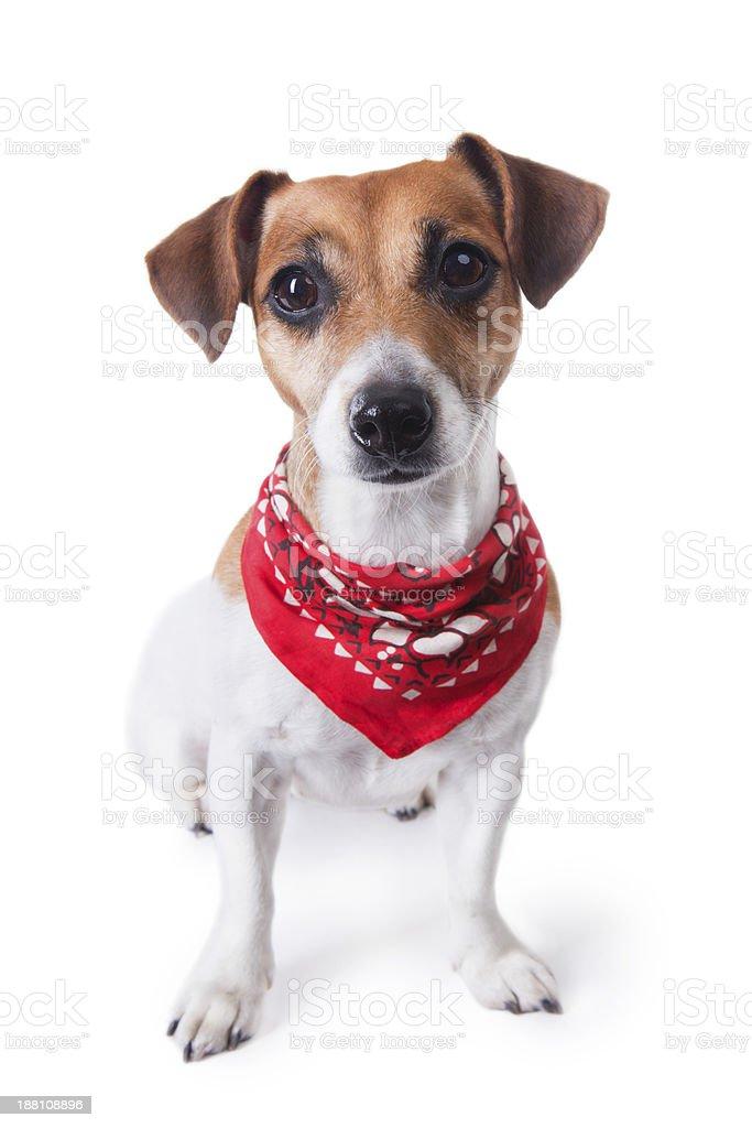 Cute dog in red bandana stock photo
