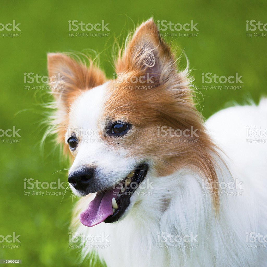 Cute Dog in the Grass royalty-free stock photo