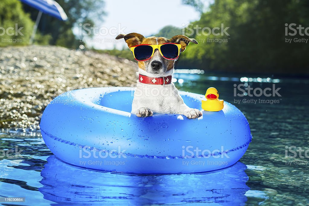 Cute dog in water tube with sunglasses on royalty-free stock photo