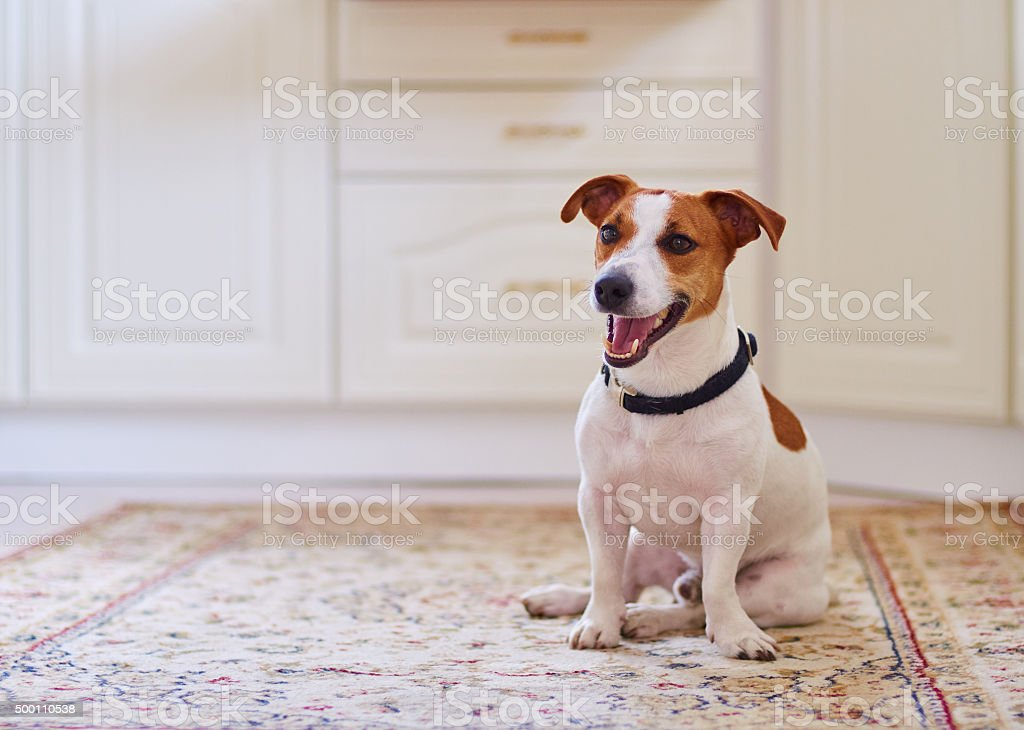 Cute dog jack russel terrier sitting in the kitchen floor stock photo