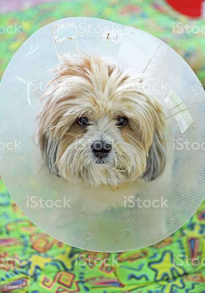 Cute dog looking at the camera in a plastic collar stock photo