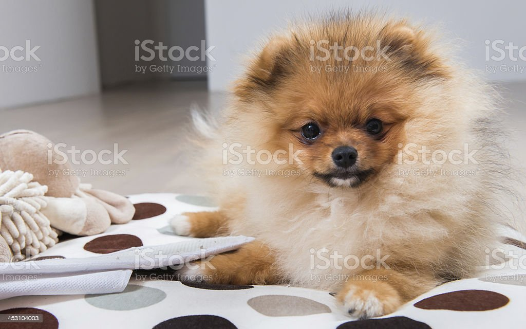 Cute dog on a pillow stock photo