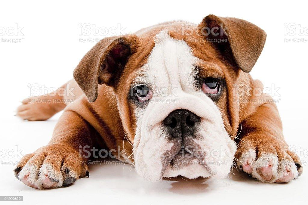 Cute dog royalty-free stock photo