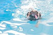 Cute dog Pug swim at a local public pool