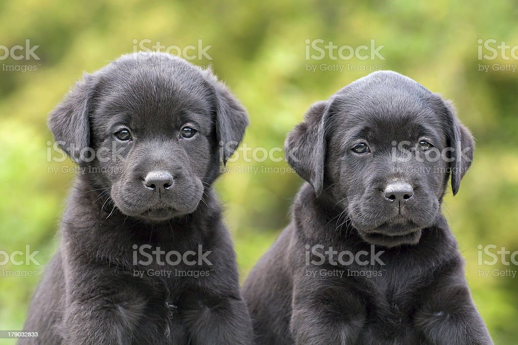 Cute dog puppies royalty-free stock photo