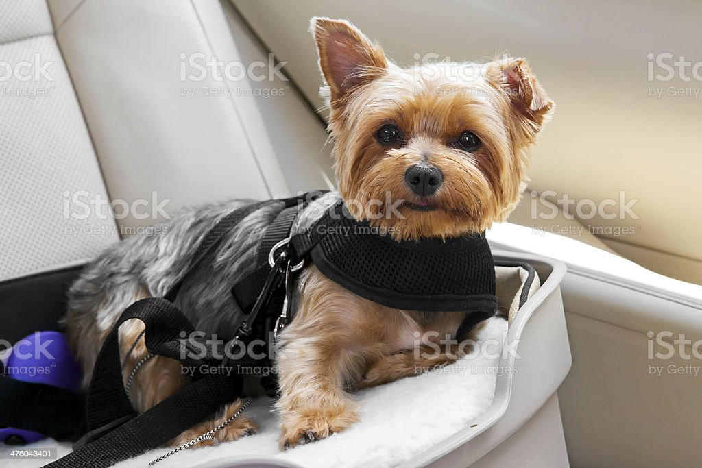 Cute dog secured in car seat stock photo