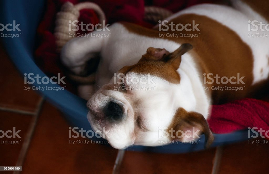 Cute dog sleeps in her basket in a soft halo stock photo