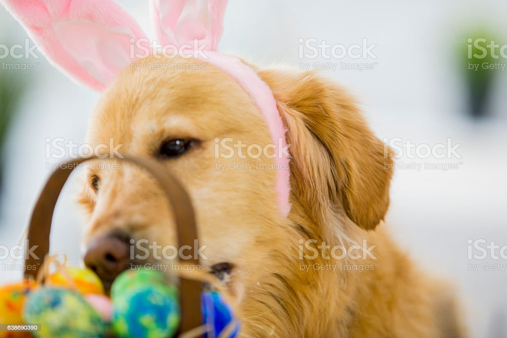 Cute Dog Sniffs Easter Eggs stock photo