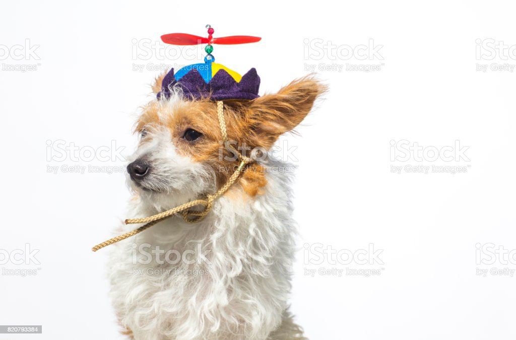 Cute Dog Wearing a Propeller Hat - The Amanda Collection stock photo