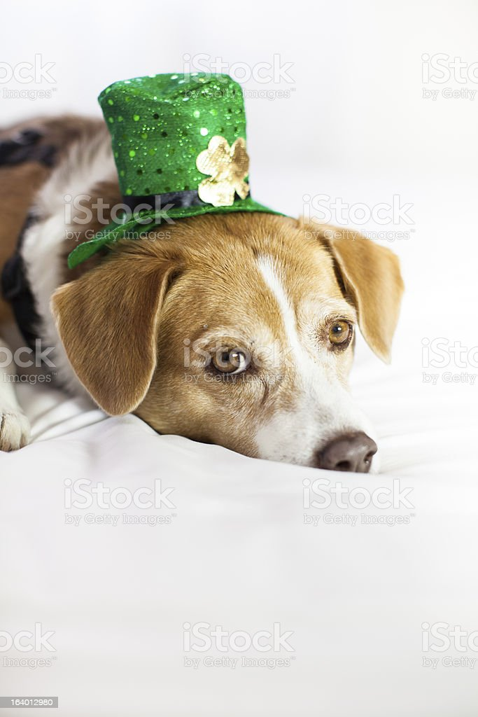 Cute dog wearing hat for St Patrick's Day fun stock photo