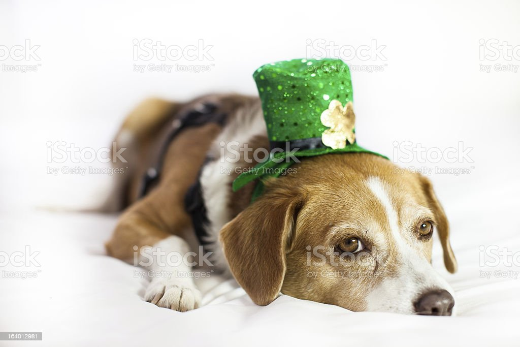 Cute dog wearing hat for St Patrick's Day fun royalty-free stock photo