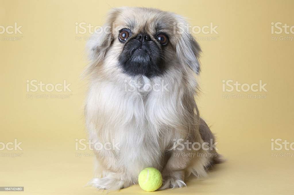 Cute Dog with Ball stock photo