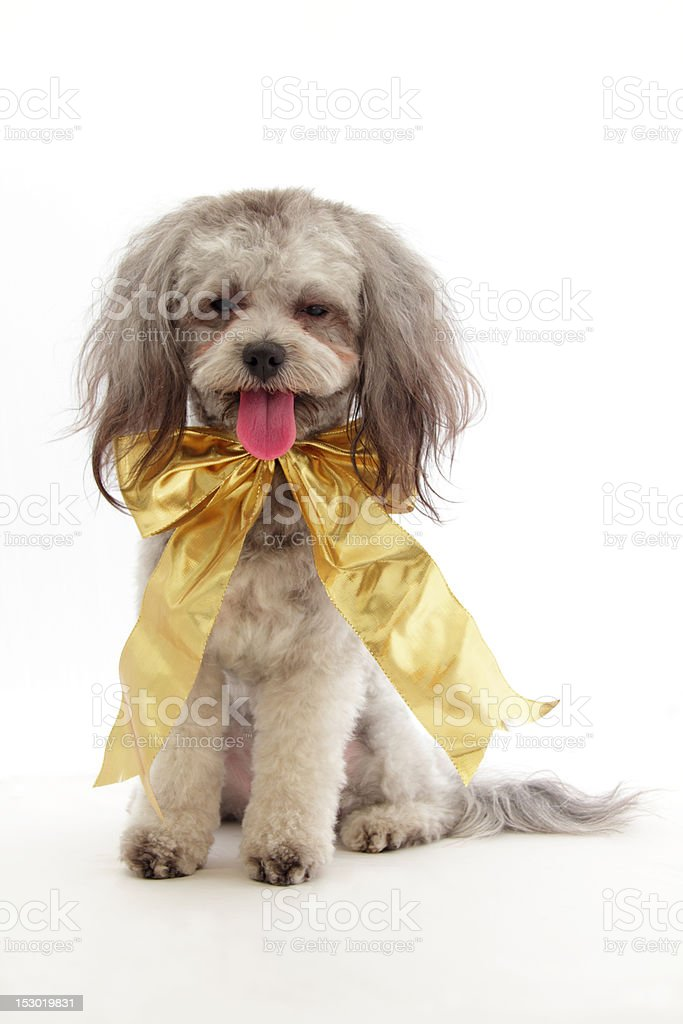 cute dog with bow stock photo