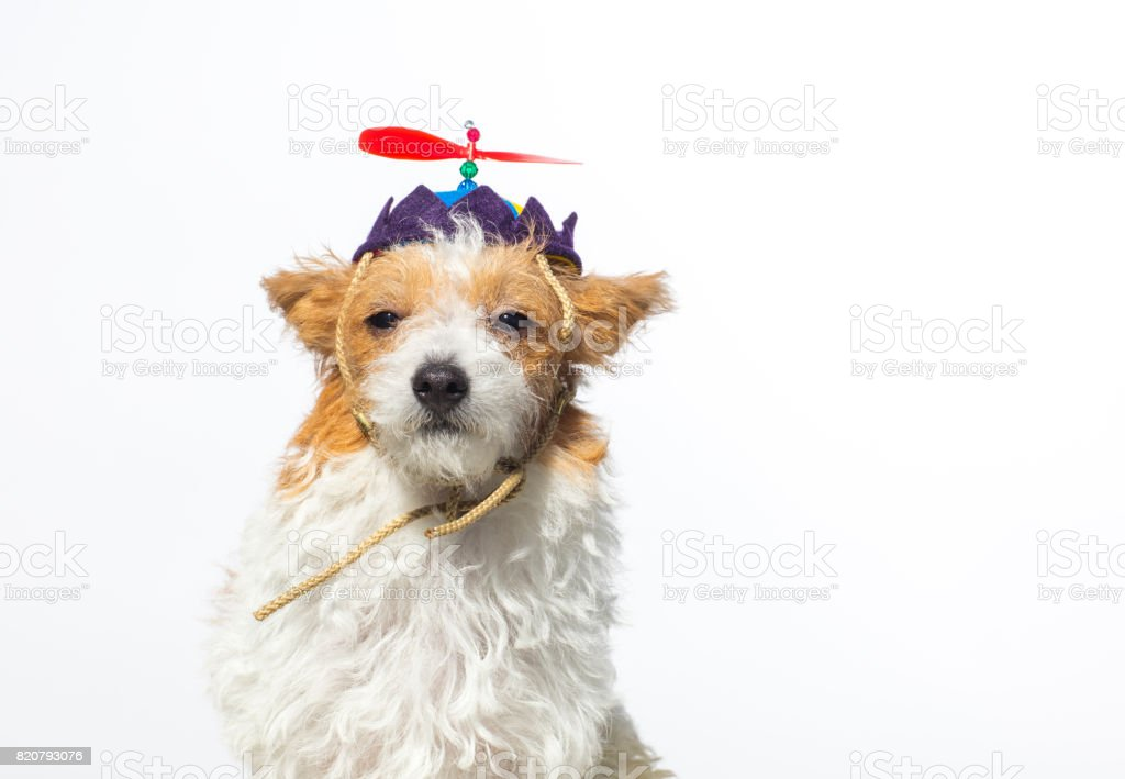 Cute Dog with Propeller Hat - The Amanda Collection stock photo