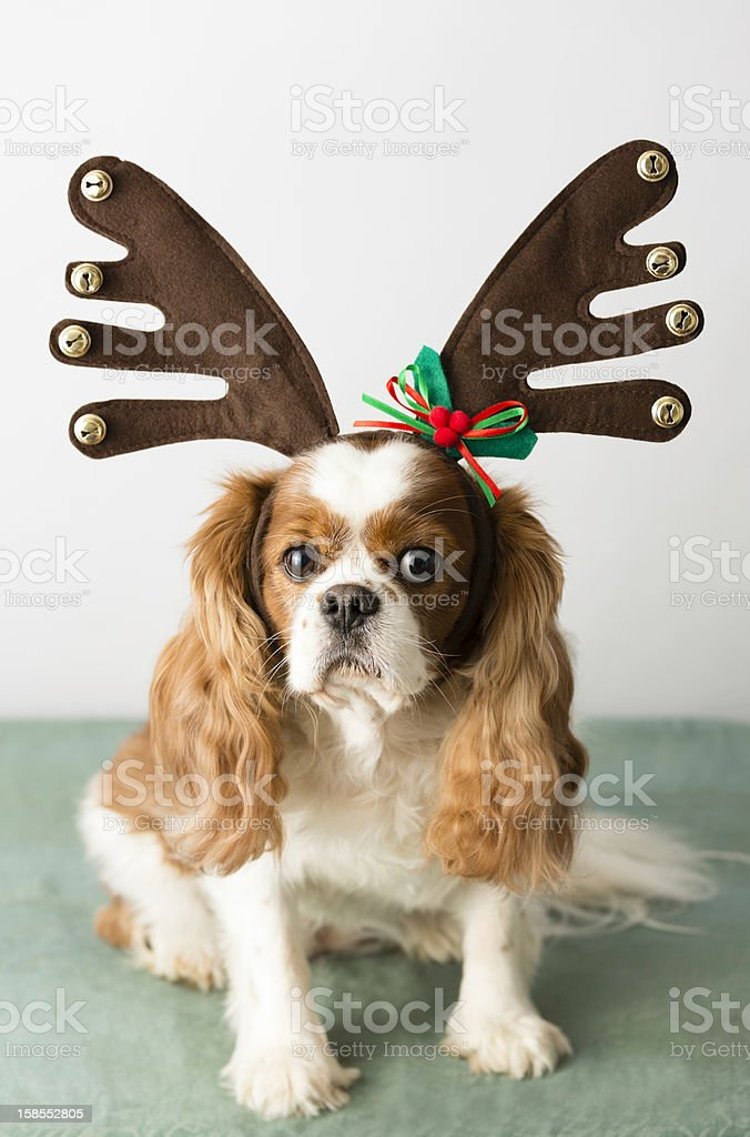 Cute dog with reindeer antlers for holidays stock photo