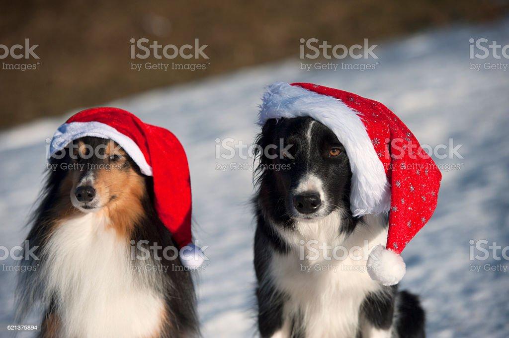 Cute dogs Border collie, Shetland Sheepdog wearing Santa Christmas hat stock photo