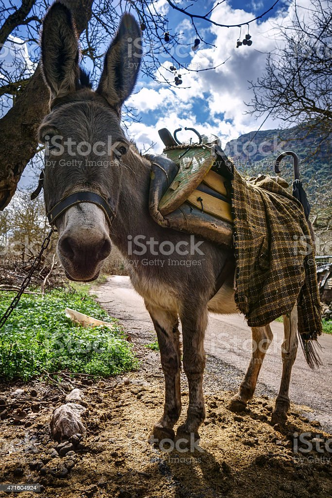 Cute donkey looking, with a traditional saddle stock photo