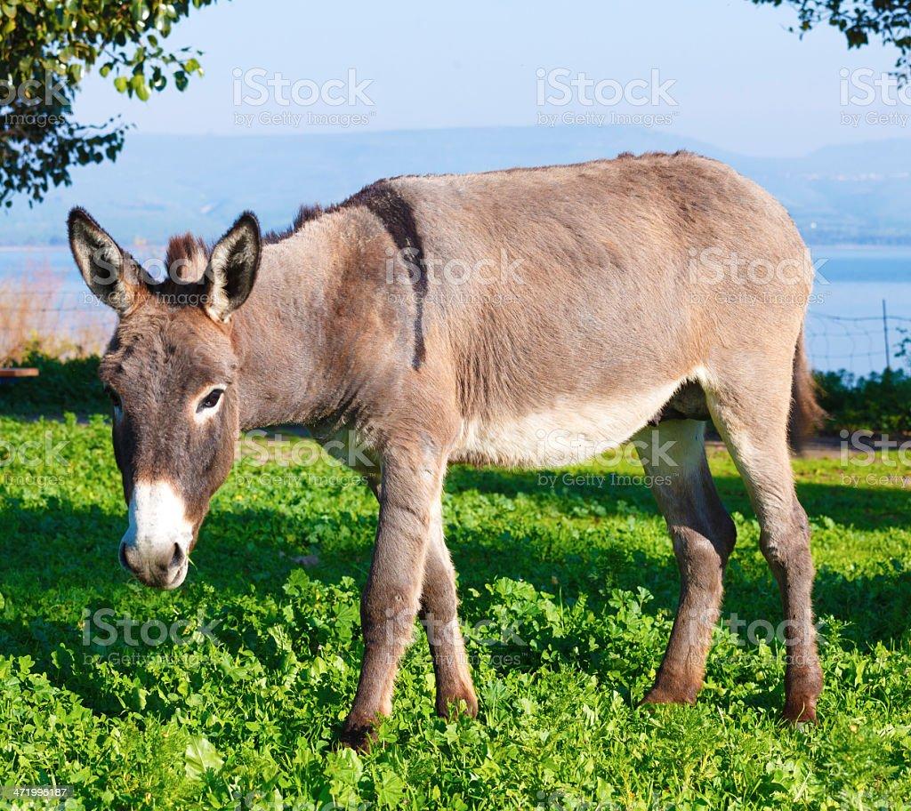 Cute Donkey royalty-free stock photo