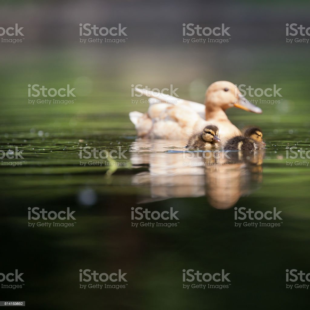 Cute duck family on a pond stock photo