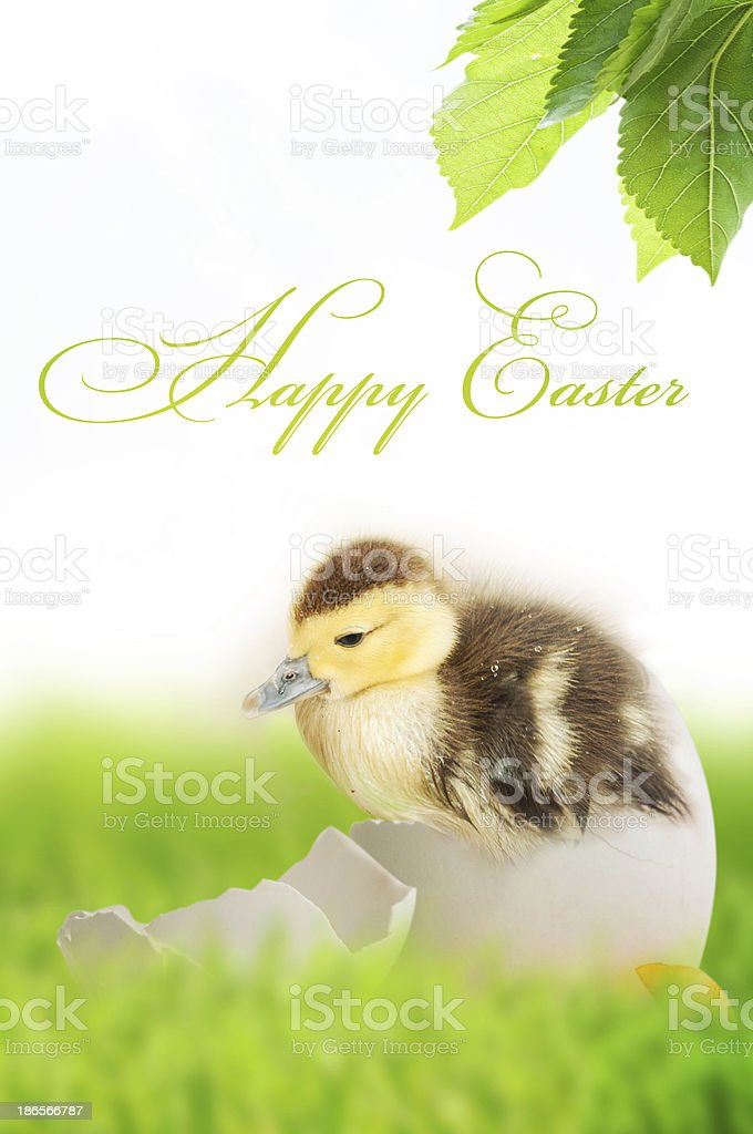 cute duckling in green grass stock photo