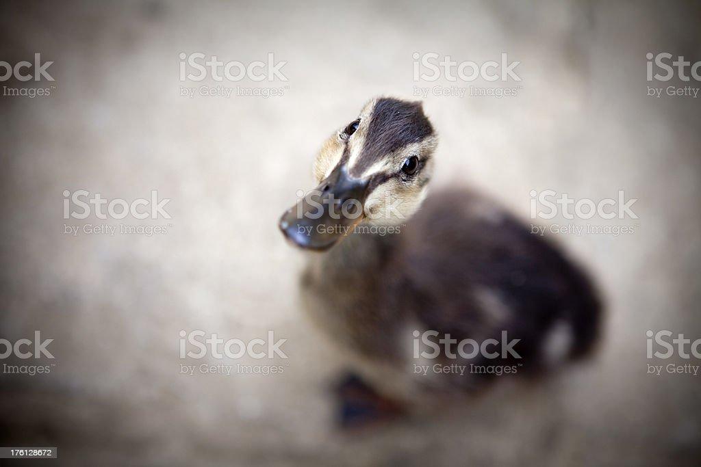 Cute Duckling Needs Feeding Please stock photo