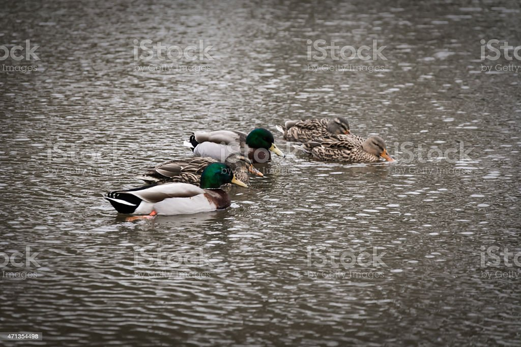 Cute Ducks Paddling In A Group In Water. stock photo