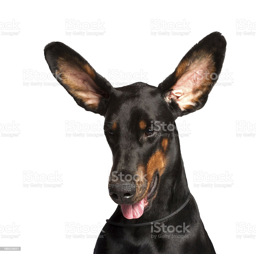 Cute ears of dobermann dog isolated on white royalty-free stock photo