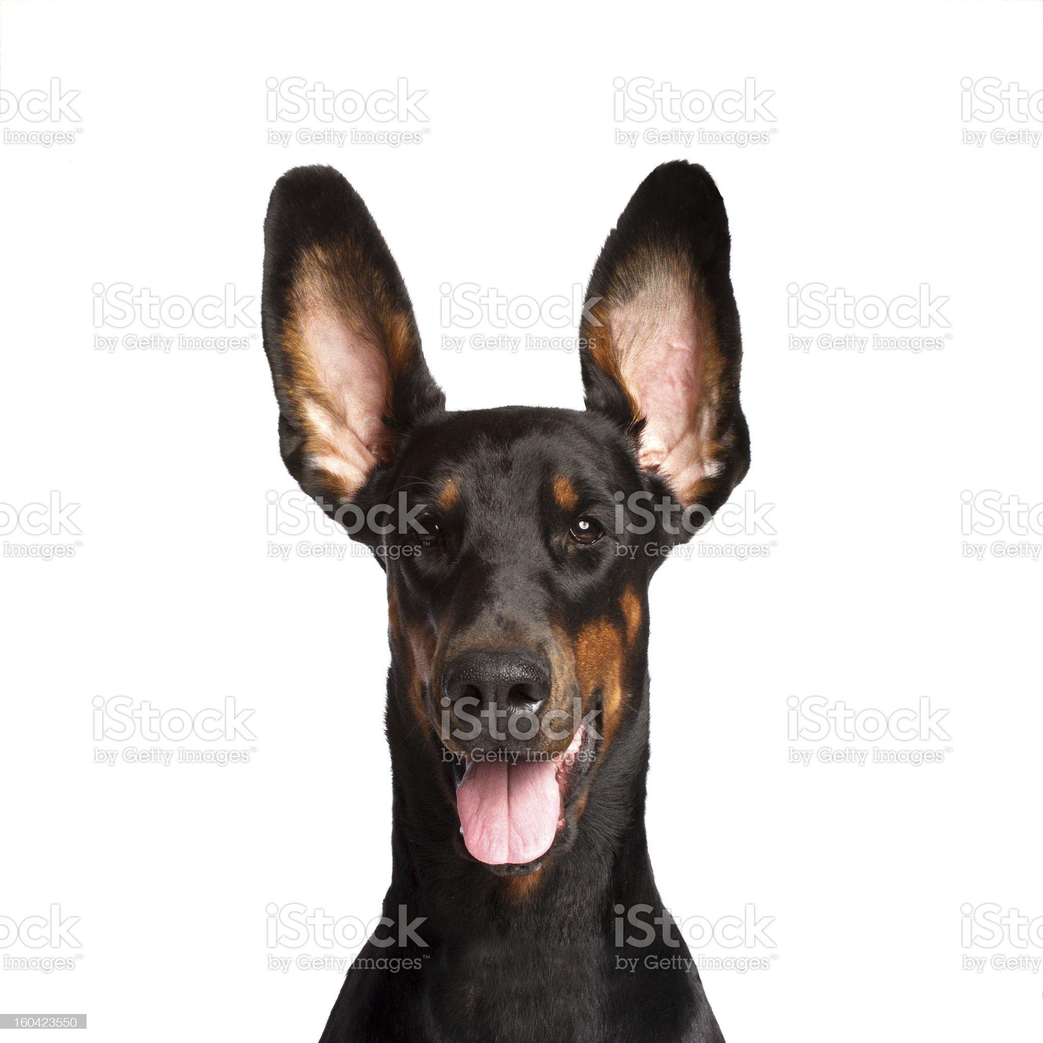 Cute ears of dobermann dog royalty-free stock photo