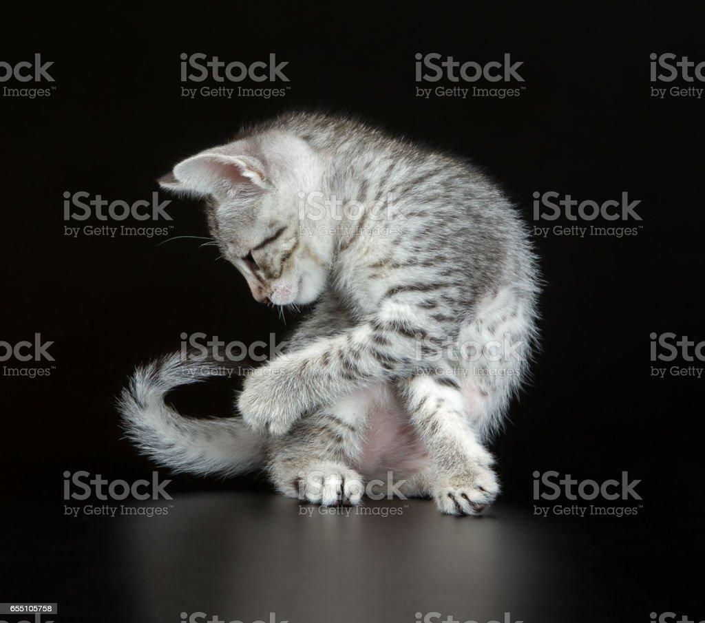 Cute Egyptian Mau Little Kitten stock photo