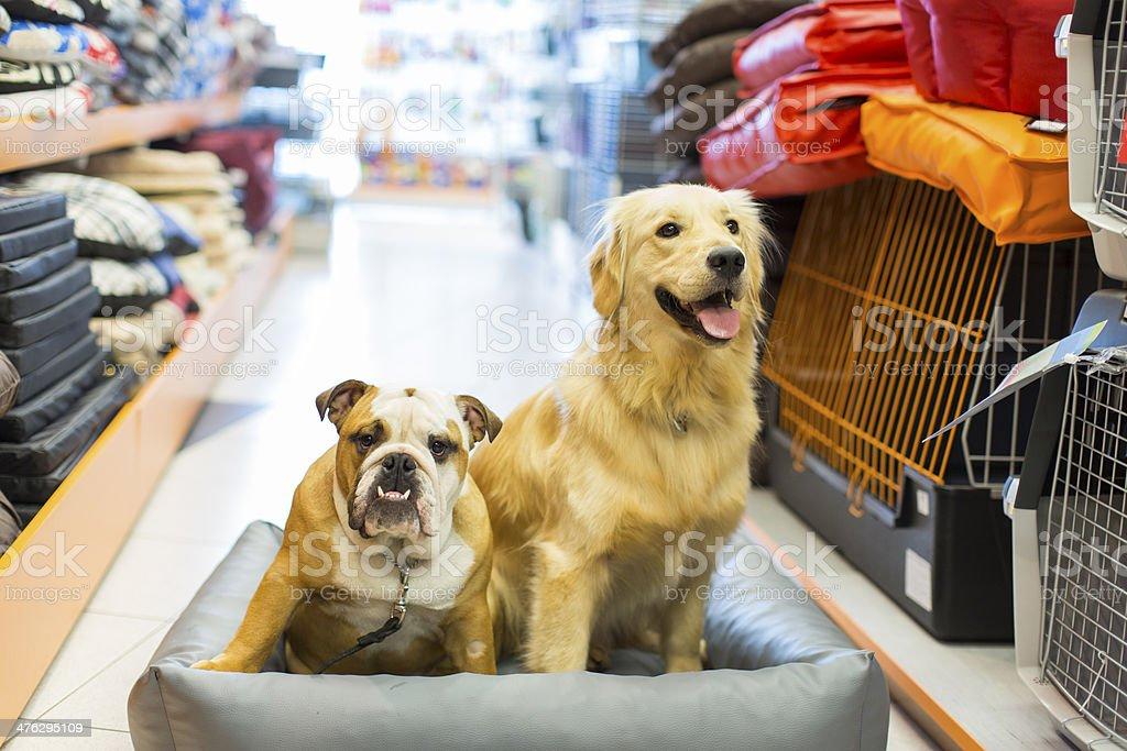 Cute English Bulldog and Golden Retriever in pet store resting stock photo