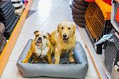Cute English Bulldog and Golden Retriever in pet store resting