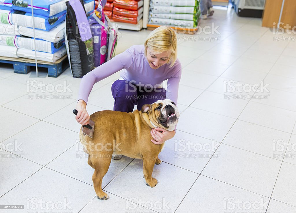 Cute English Bulldog in pet store...female owner is brushing him