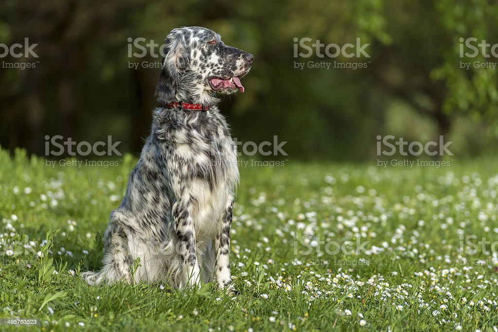 Cute English Setter dog is sitting in a spring meadow royalty-free stock photo