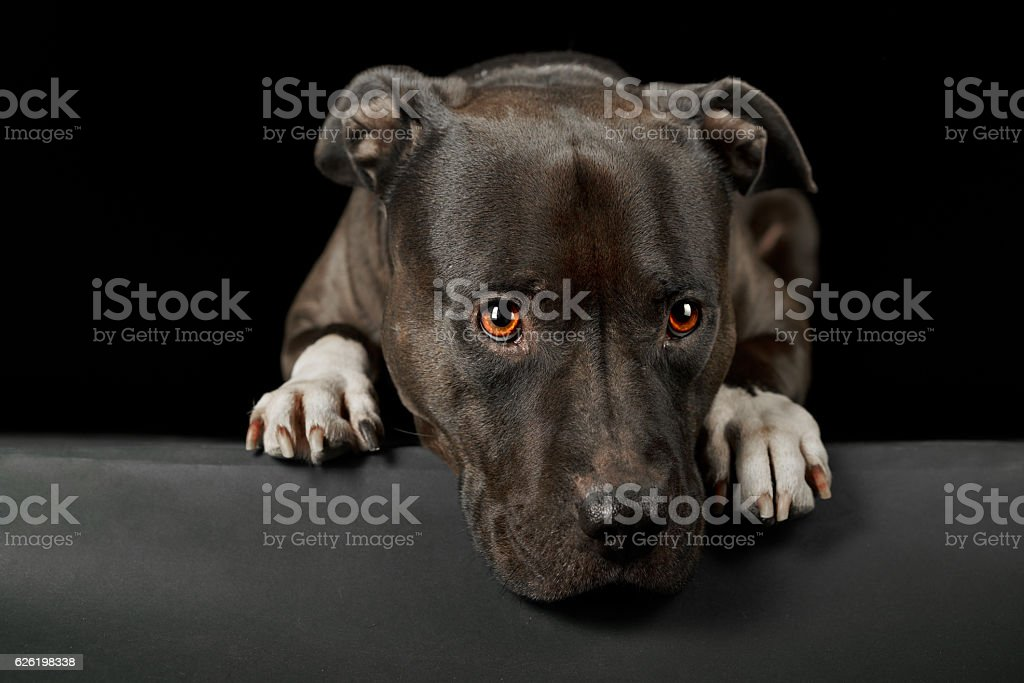 cute face of american stafford dog stock photo