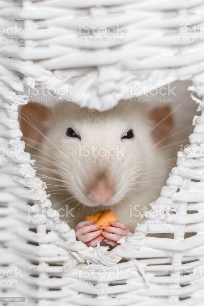 Cute fancy rat eating treats in heart shape vase window stock photo
