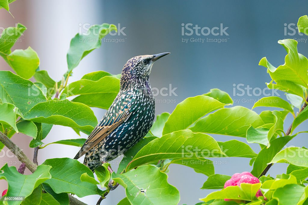 Cute female Eurasian Blackbird, Juvenile Common Blackbird (Turdu stock photo