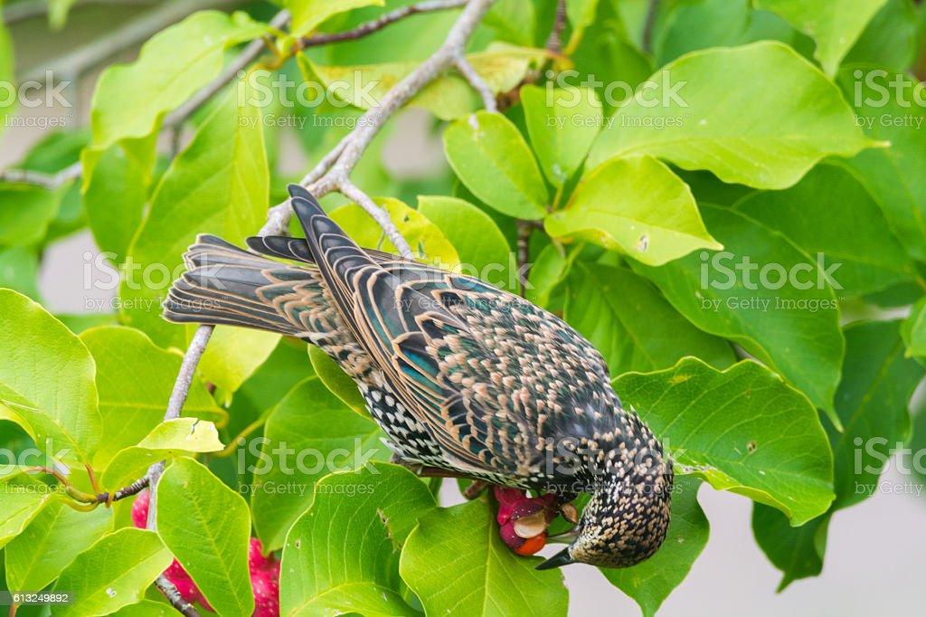 Cute female Eurasian Blackbird, Turdus merula eating berry stock photo