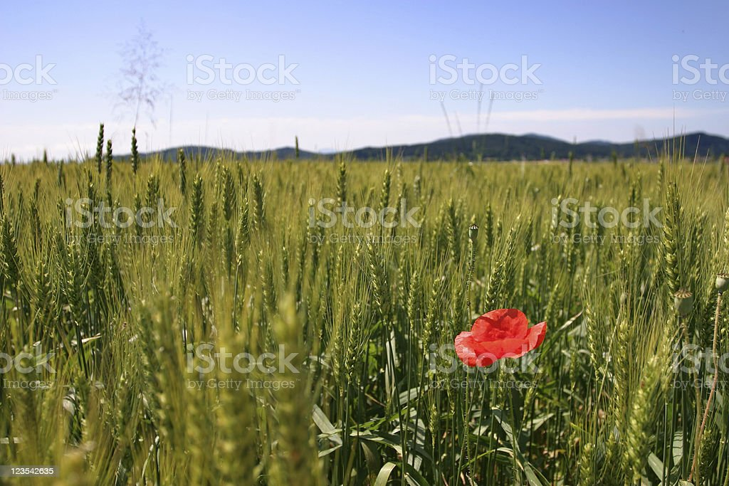 Cute field with poppy royalty-free stock photo