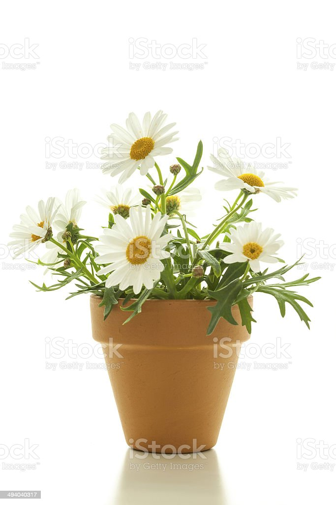 Cute Flowers - Giant Diasies, Isolated stock photo