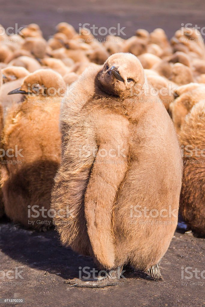 Cute Fluffy brown King Penguin (Aptenodytes patagonicus) Chick Close up stock photo