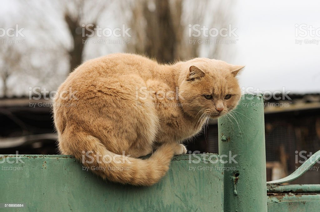 Cute fluffy ginger cat resting on a fence stock photo